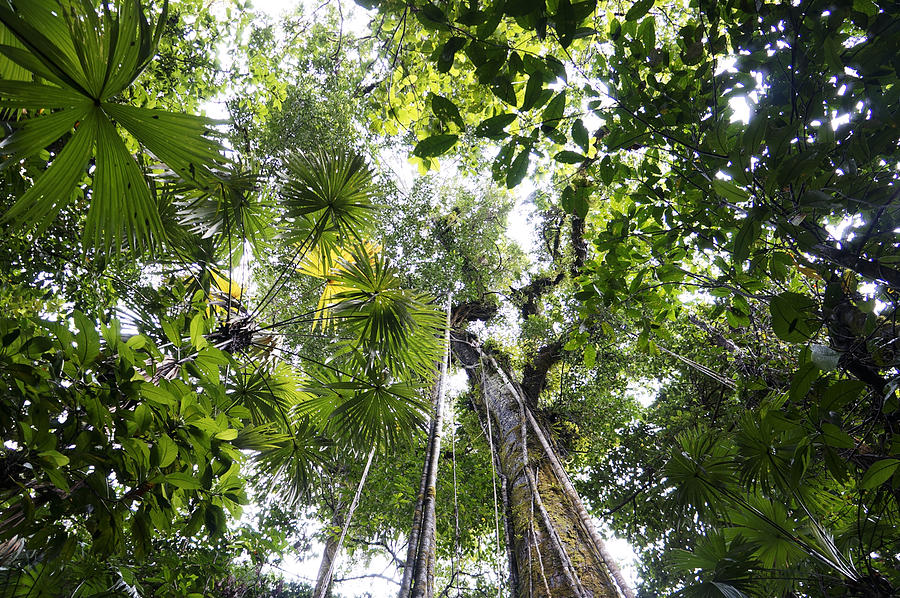 Looking Up To Rainforest Canopy Costa Photograph by Hiroya Minakuchi