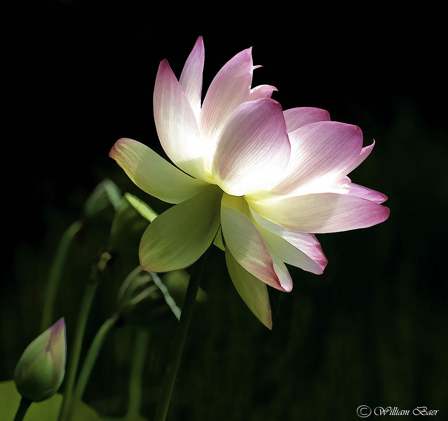 Lotus Flower Photograph By Bill Baer