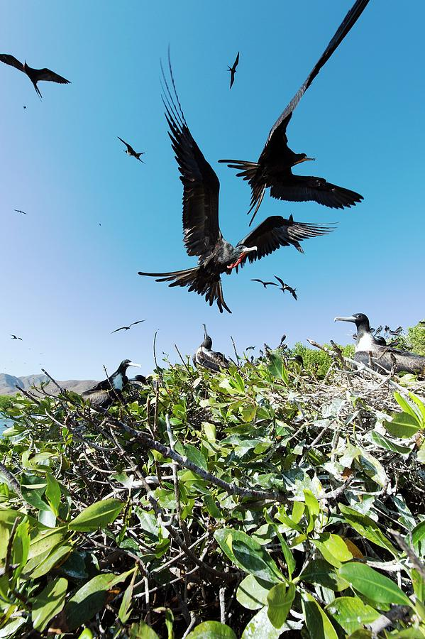 Baja California Photograph - Magnificent Frigatebirds by Christopher Swann