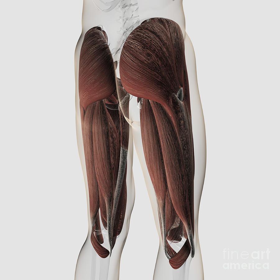 Male Muscle Anatomy Of The Human Legs Digital Art By Stocktrek
