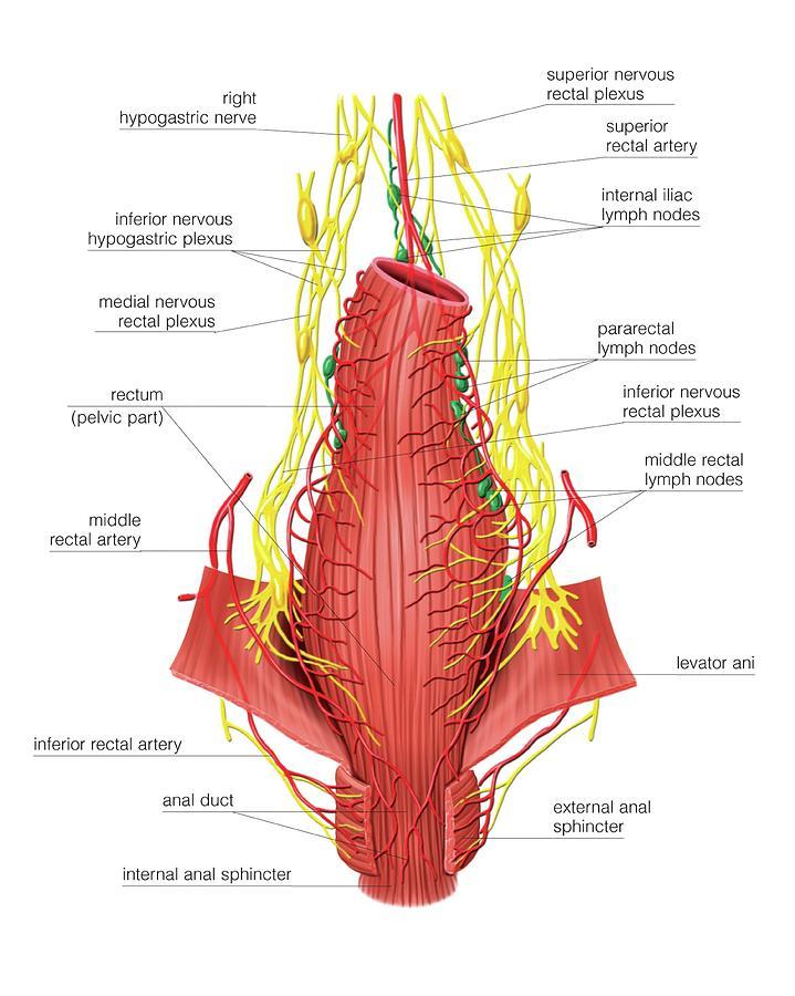 Inferior nerves Anal