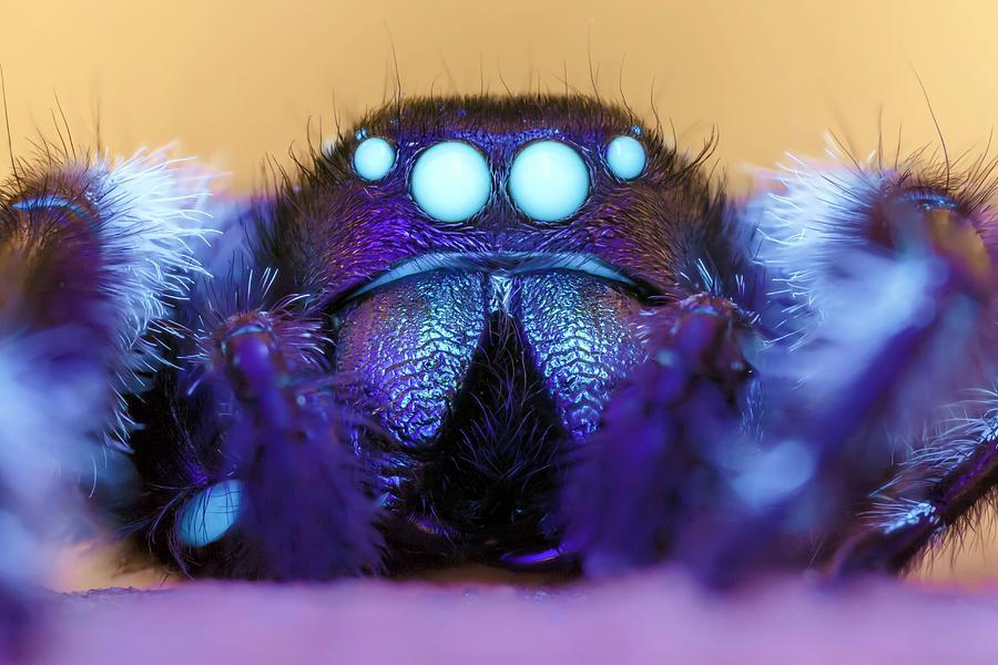 Phidippus Regius Photograph - Male Regal Jumping Spider by Alex Hyde