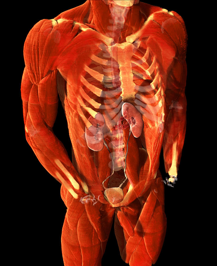 Male Urinary System Photograph By Anatomical Travelogue