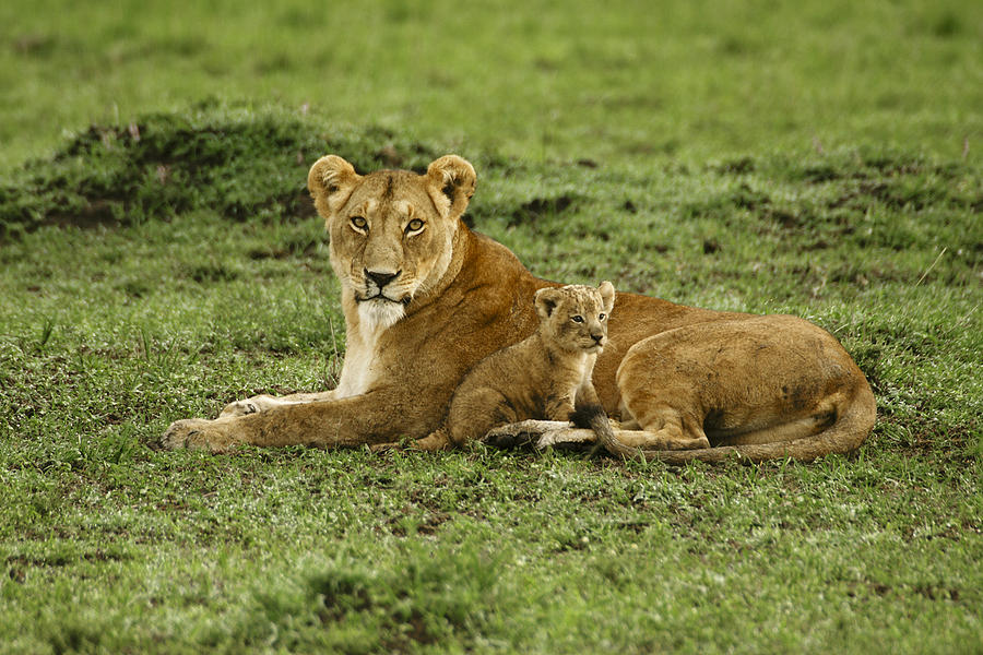 Lion Photograph - Mamas Little Baby by Michele Burgess
