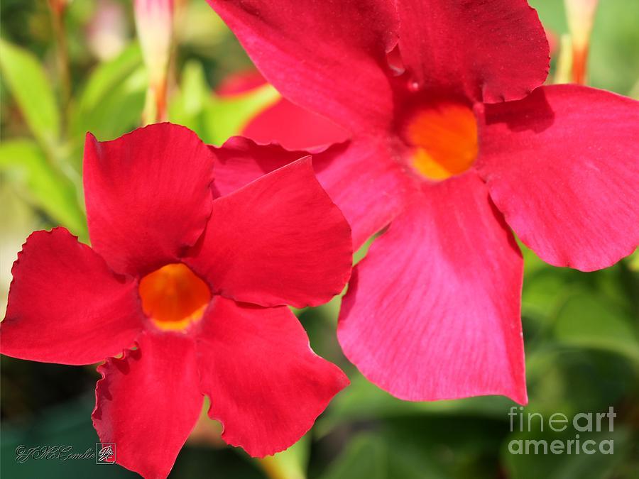 Mandevilla Named Sun Parasol Crimson Photograph By J Mccombie