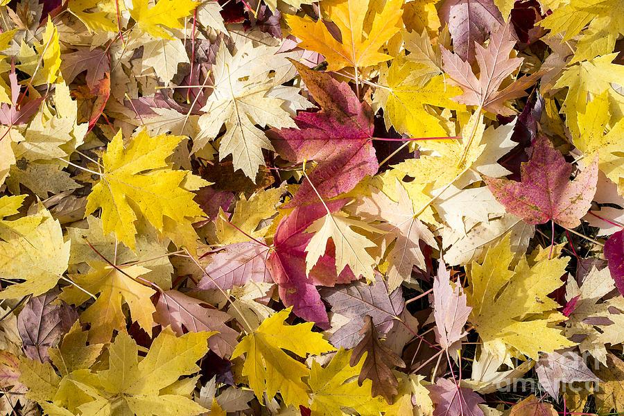 Arboretum Photograph - Maple Leaves by Steven Ralser