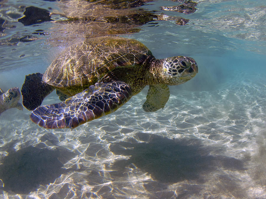 Maui Turtle Photograph by James Roemmling