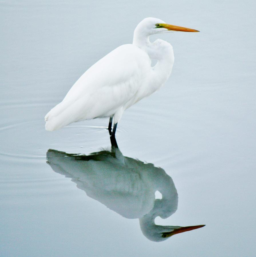 Great White Egret Photograph - Me And My Shadow by Paulette Thomas