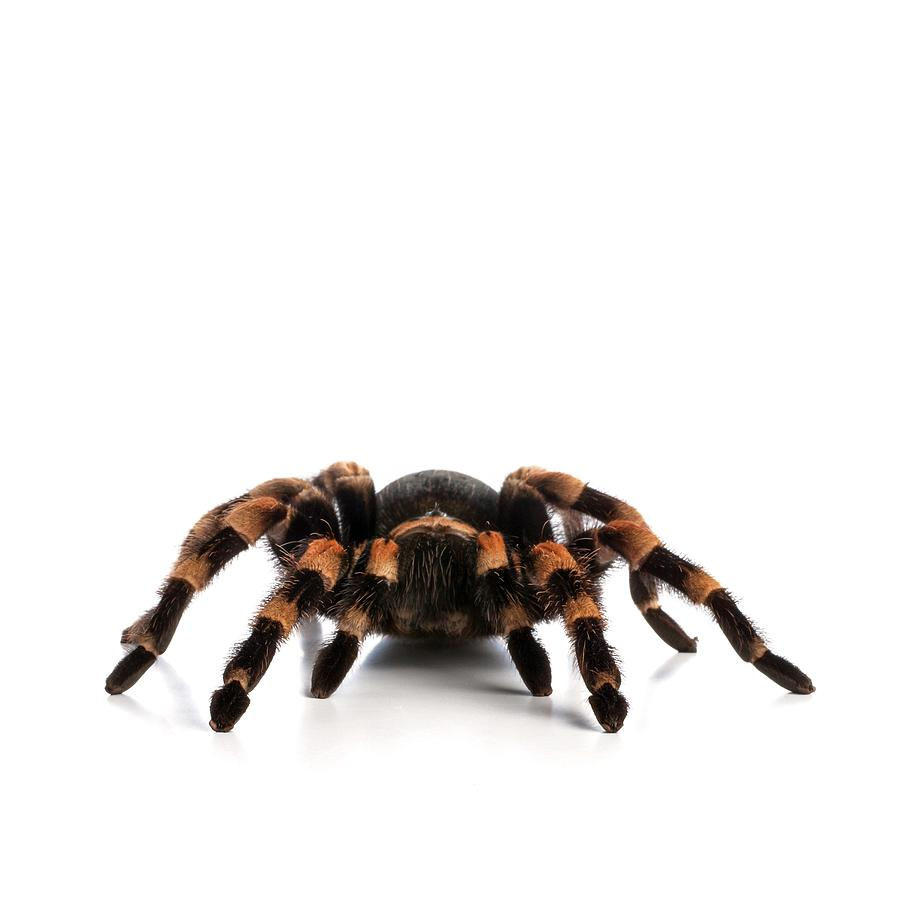 Indoors Photograph - Mexican Redknee Tarantula by Science Photo Library