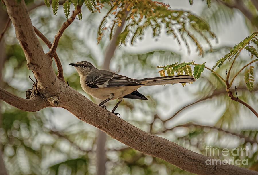Arizona Photograph - Mockingbird by Robert Bales