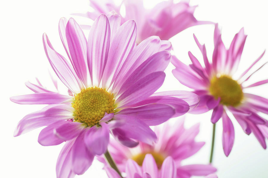 Horizontal Photograph - Mums Flowers Against White Background by Panoramic Images