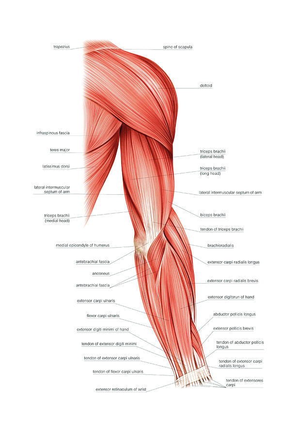 Muscles Of Right Upper Arm Photograph By Asklepios Medical Atlas