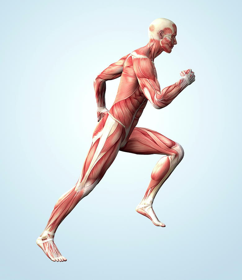 Muscle Photograph - Muscular System by Roger Harris