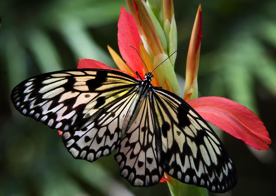 Paper Kite Butterfly Photograph - Natures Treasures  by Saija  Lehtonen