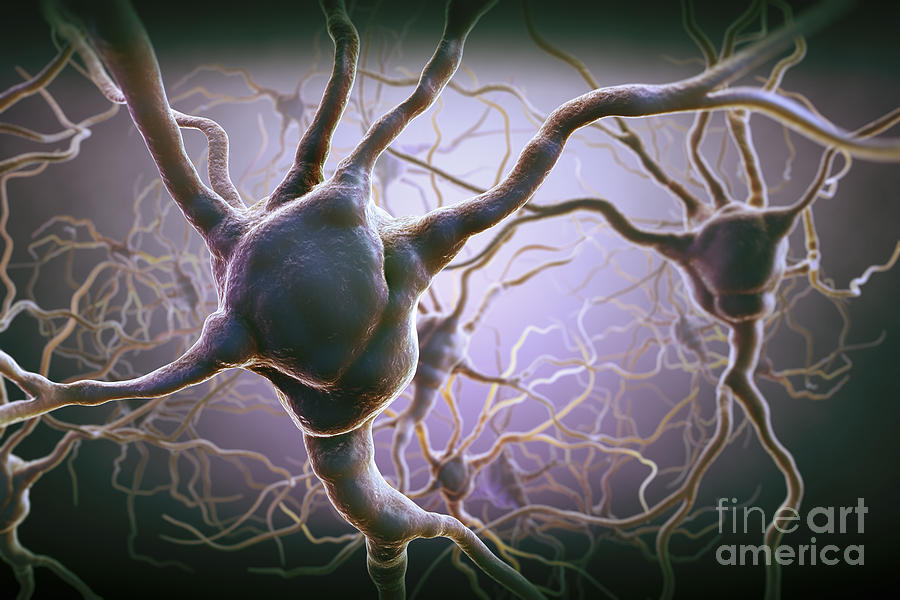 Anatomical Model Photograph - Neuron by Science Picture Co