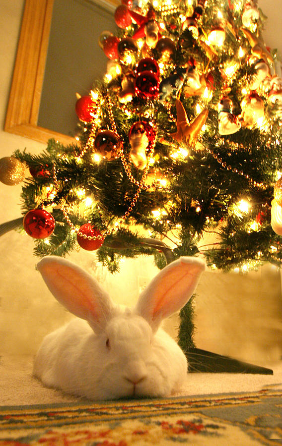 rabbit photograph new zealand white rabbit under the christmas tree by amanda stadther