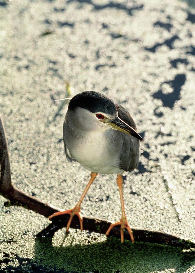 Black-crowned Night Heron Photograph - Night Heron by Tony Camacho/science Photo Library