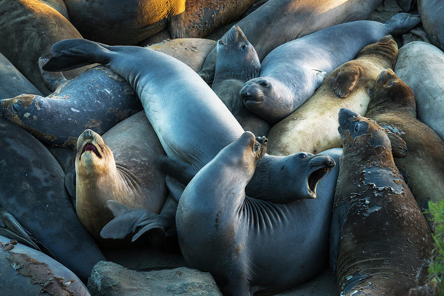 Animal Photograph - Northern Elephant Seals At Piedras by Russ Bishop