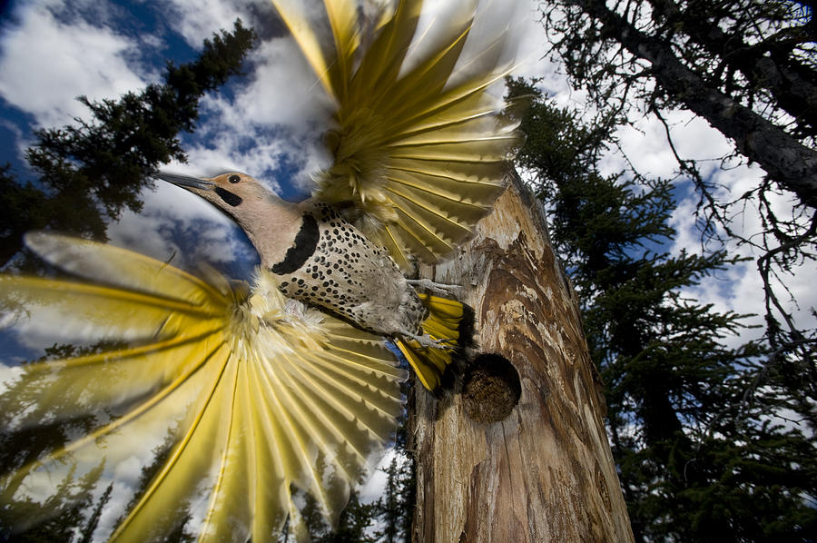 Northern Flicker Leaving Nest Cavity Photograph by Michael Quinton