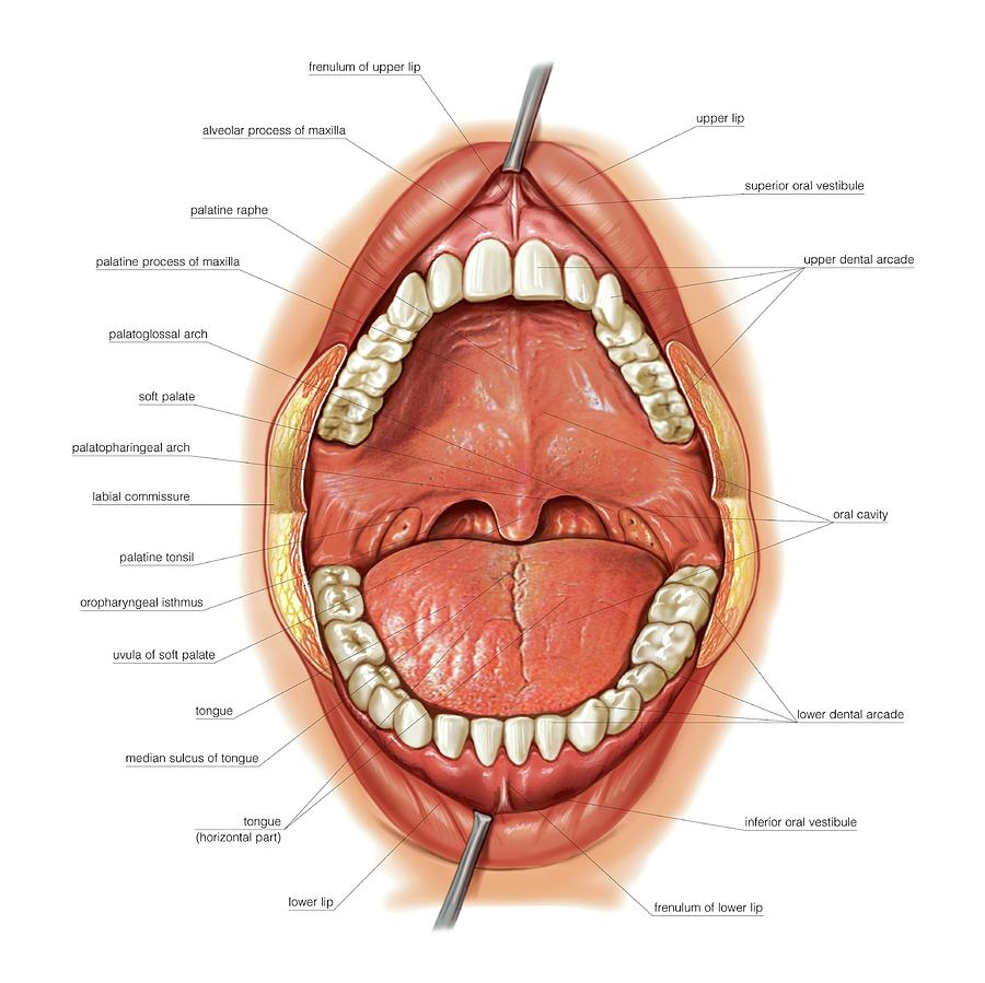 Oral Cavity Photograph by Asklepios Medical Atlas