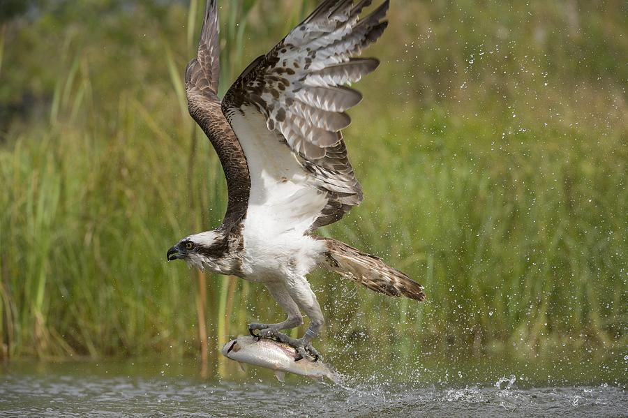 Animal Photograph - Osprey Catching A Fish by Science Photo Library