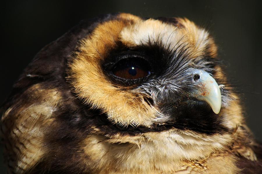 Owl Photograph - Owl by Paulette Thomas