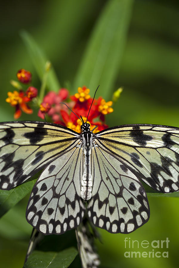 Butterfly Photograph - Paper Kite Butterfly by Brandon Alms