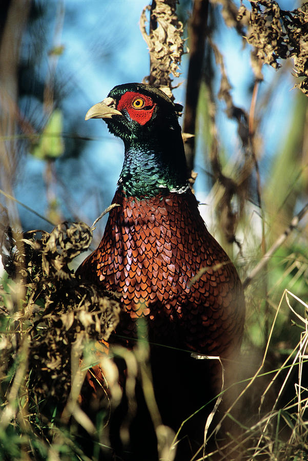 Pheasant Photograph - Pheasant by Duncan Shaw/science Photo Library