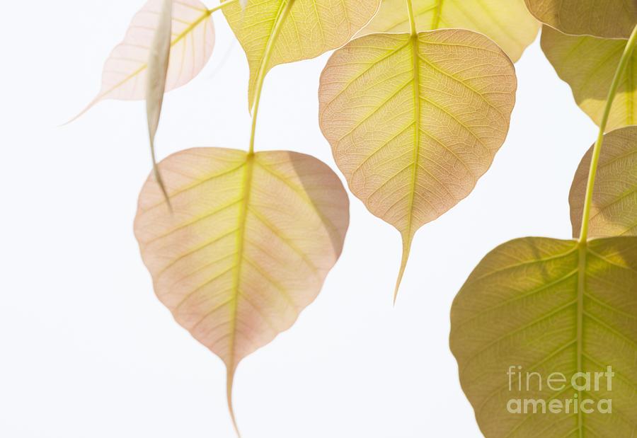 Autumn Photograph - Pho Or Bodhi by Atiketta Sangasaeng