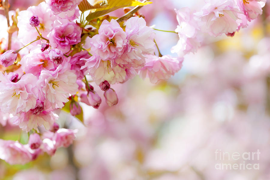 Cherry Photograph - Pink Cherry Blossoms  by Elena Elisseeva