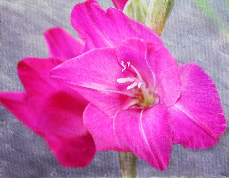 Gladiolas Photograph - Pink Gladiola by Cathie Tyler
