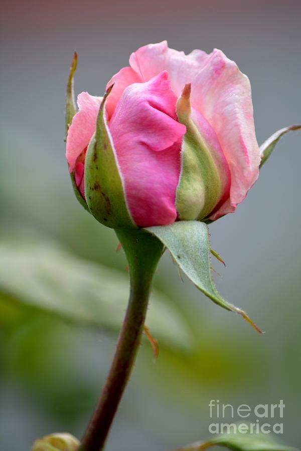 Pink Rose Photograph by Beth Sanders