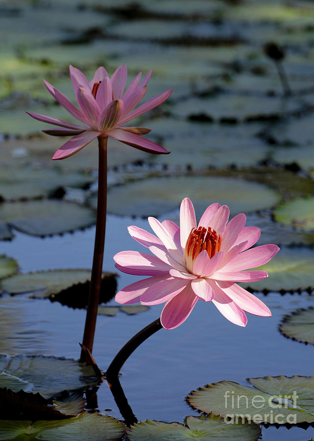 Landscape Photograph - Pink Water Lily In The Spotlight by Sabrina L Ryan