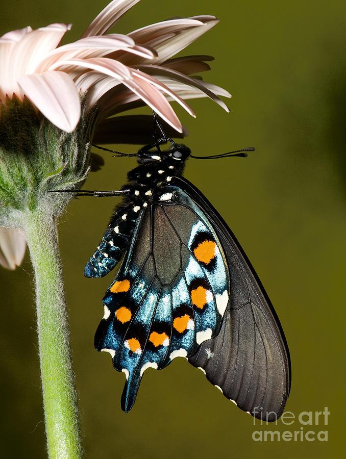 Swallowtail Photograph - Pipevine Swallowtail Butterfly by Millard H. Sharp