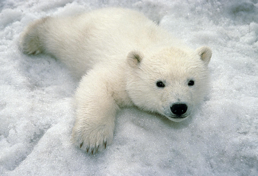 Polar Bear Cub Playing In Snow Alaska Photograph By Mark