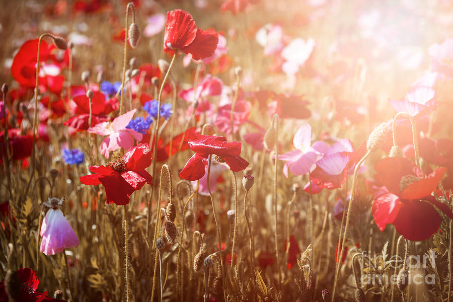Poppies In Sunny Meadow Photograph