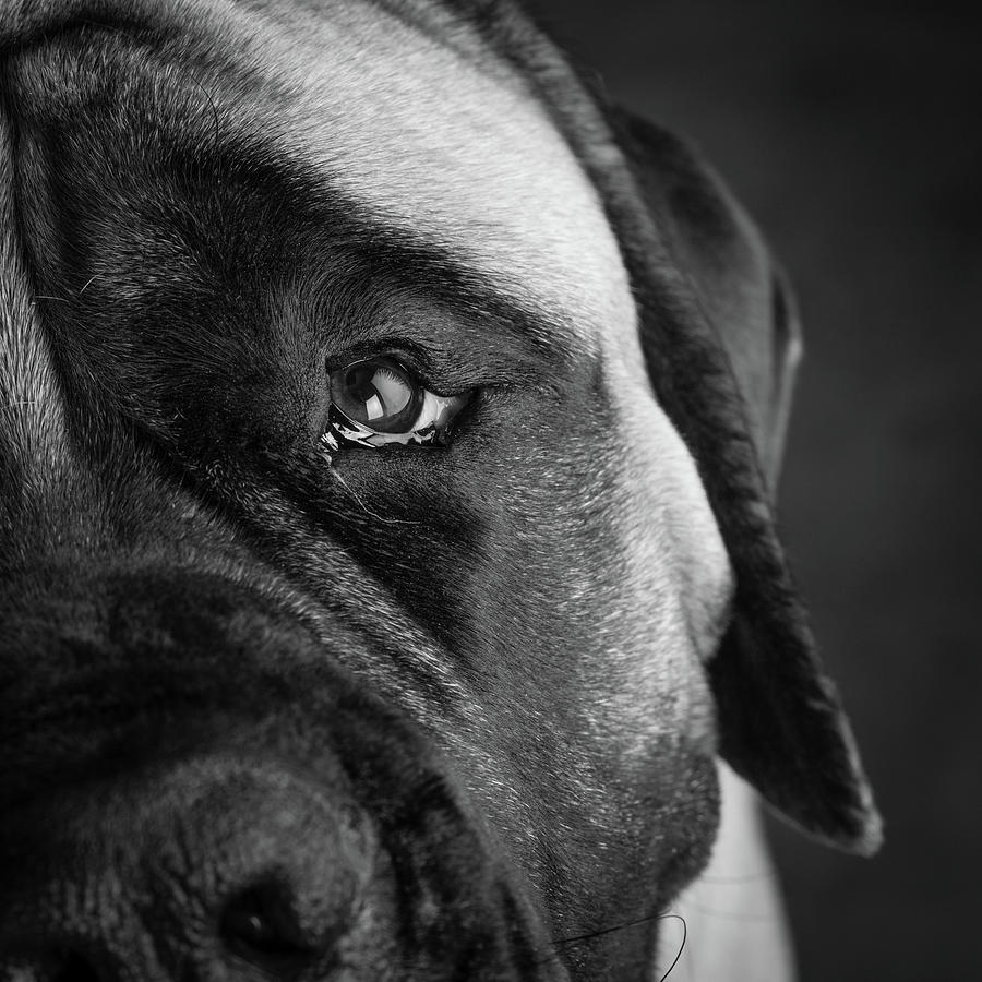 Horizontal Photograph - Portrait Of A Mastiff by Animal Images