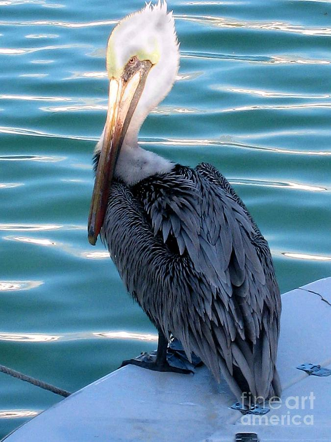 Pelican Photograph - Precious Pelican by Claudette Bujold-Poirier