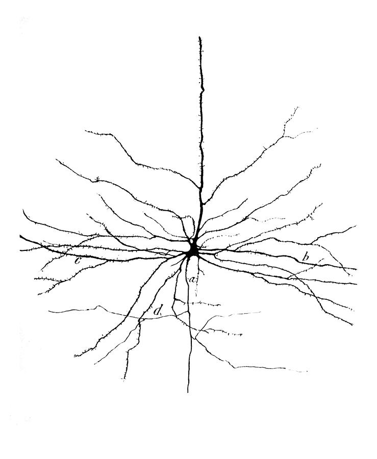 Pyramidal Cell Photograph - Pyramidal Cell In Cerebral Cortex, Cajal by Science Source