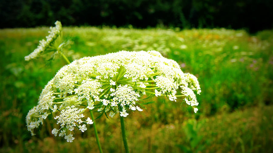 Queen Annes Lace Photograph - Queen Annes Lace by Carol Toepke