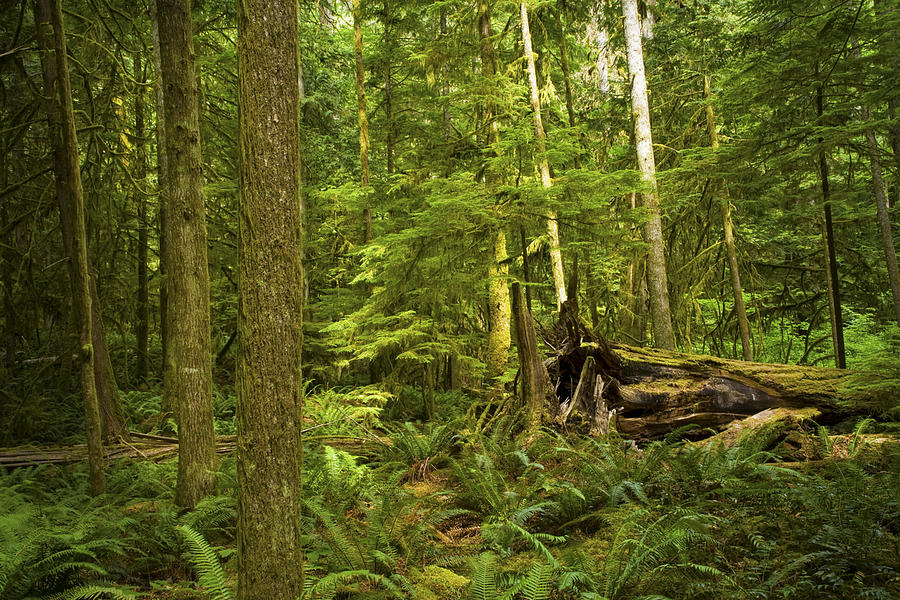 rain forest on vancouver island photograph by randall nyhof