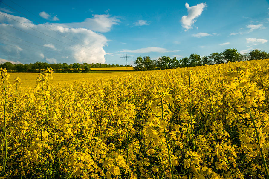 2014 Photograph - Raps Rapeseeds Flowers by George Lim