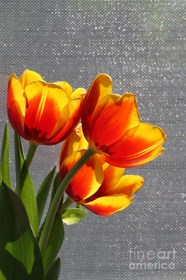 Tulip's Photograph - Red And Yellow Tulips In A Window by Robert D  Brozek