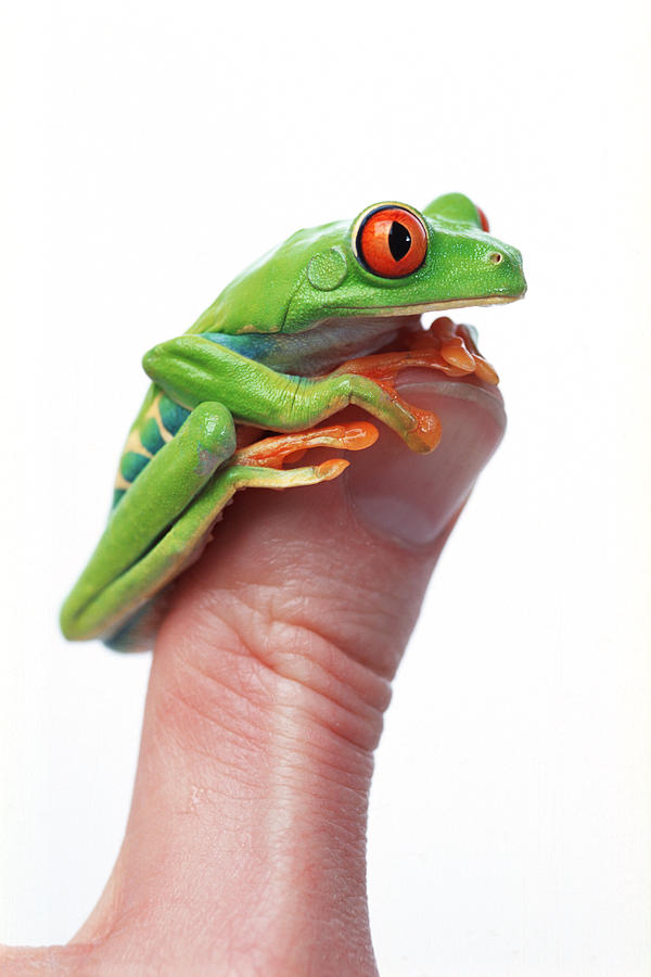 Color Photograph - Red-eyed Tree Frog Agalychnis Callidryas by Corey Hochachka