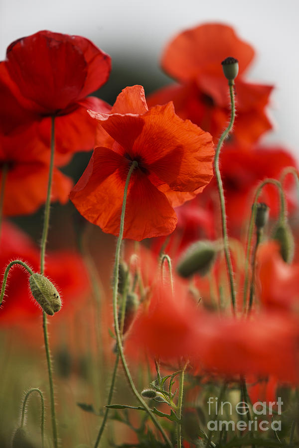 Red Poppy Flowers Photograph