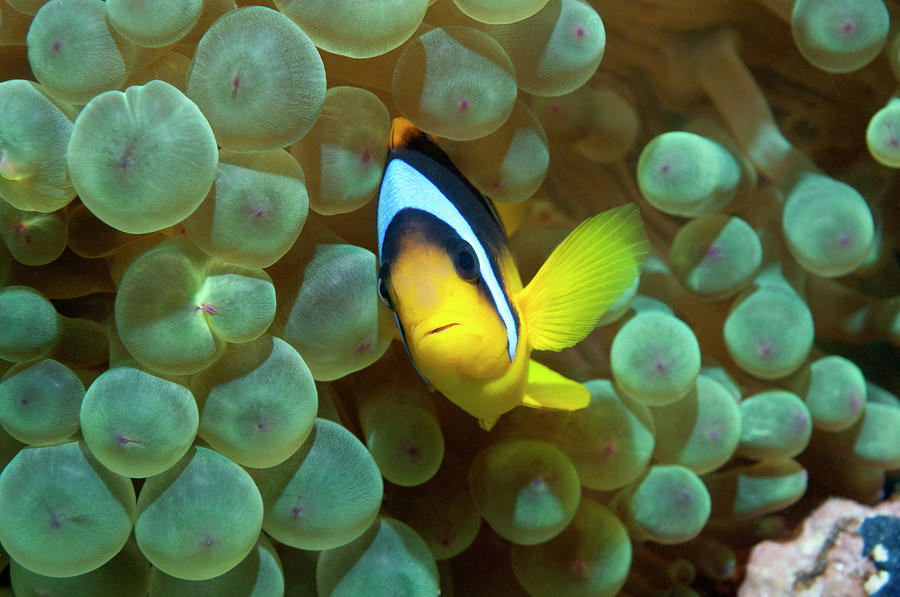 Red Sea Anemonefish Photograph by Georgette Douwma