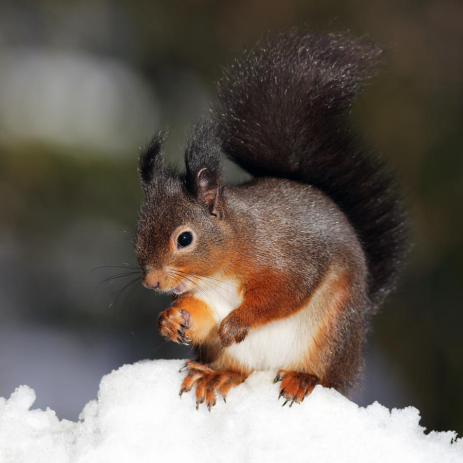 Red Squirrel Photograph - Red Squirrel by Grant Glendinning