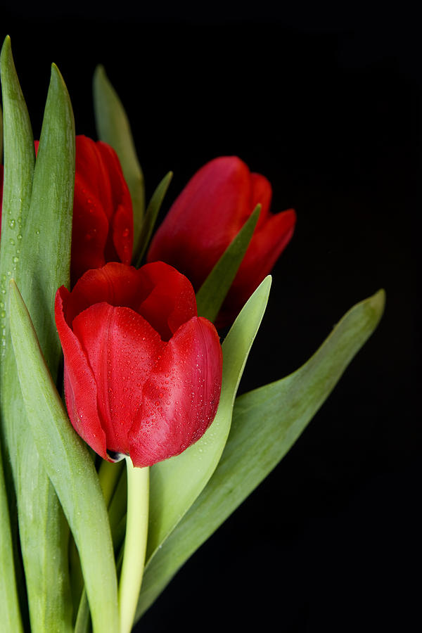 Tulips Photograph - Red Tulips 2 by Gillian Dernie