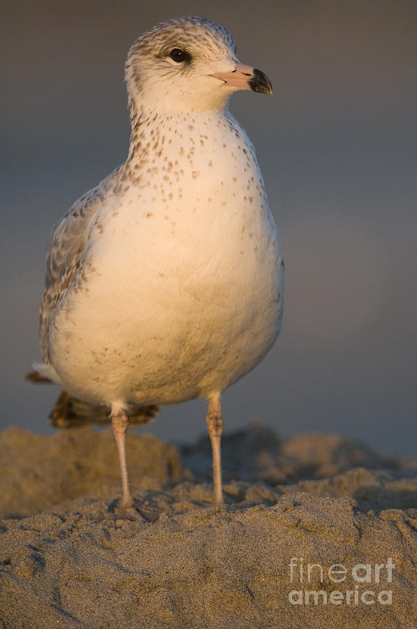 Nature Photograph - Ring-billed Gull by John Shaw