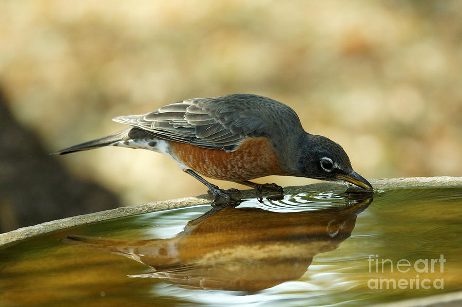 Birds Photograph - Robin Drinking by Lori Tordsen
